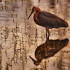 Reddish Egret at sunset by Deewinged