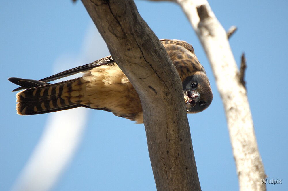 Australian Hobby by Wildpix