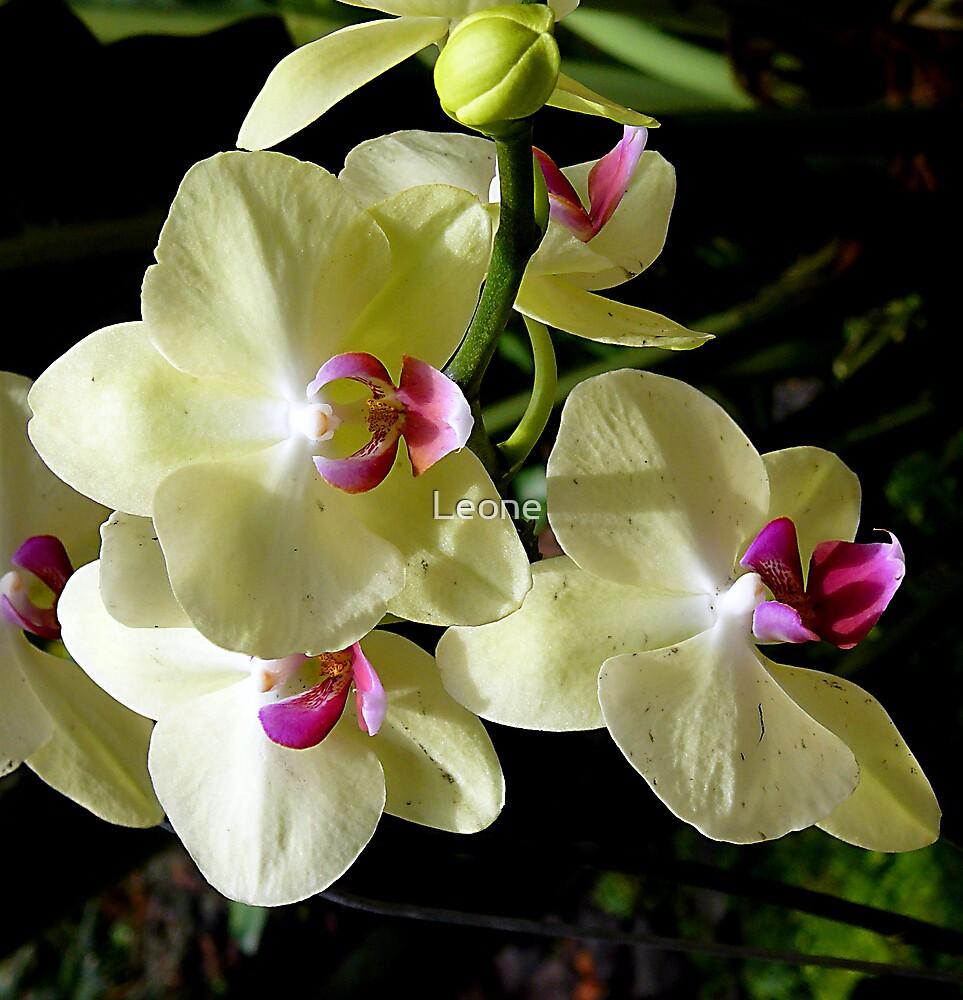 Lemon coloured Orchid by Leone Fabre