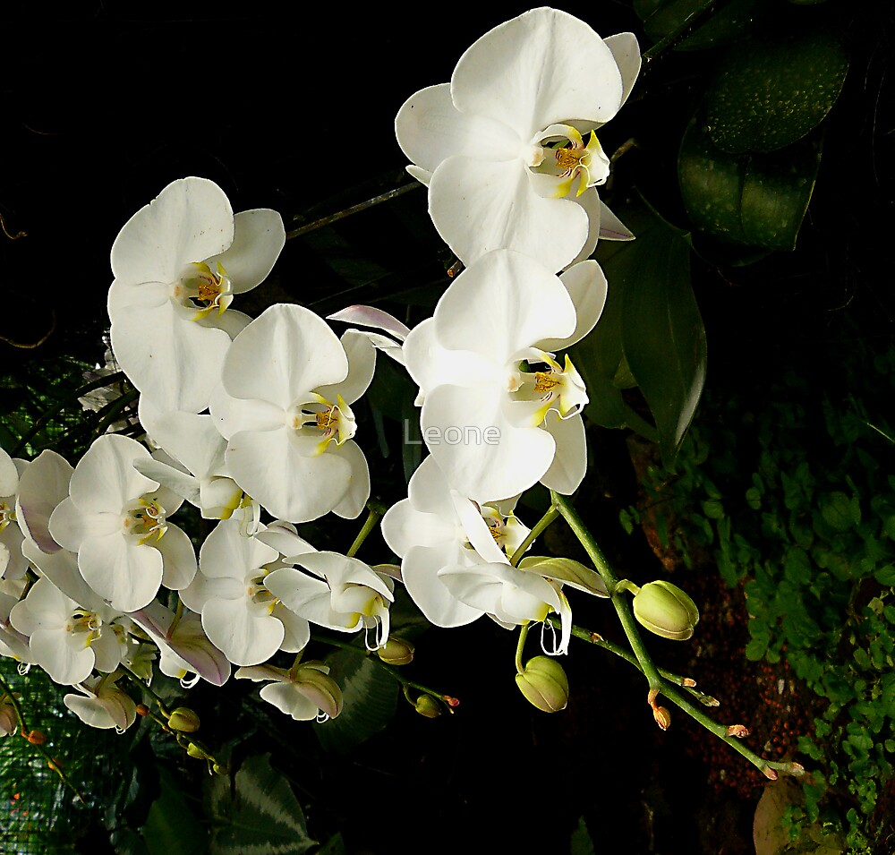 White Orchids by Leone Fabre