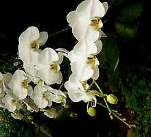 White Orchids by Leone