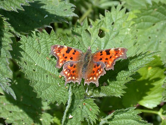 Comma butterfly by cappa
