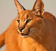 Caracal 2 by Marie Holding