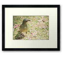 Female Bowerbird Framed Print