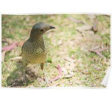 Female Bowerbird Poster