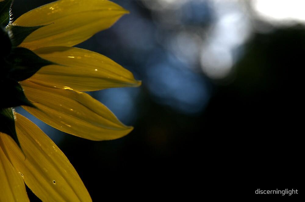 Sunflower  by discerninglight
