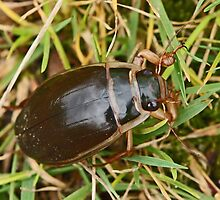 Great Diving Beetle by MikeSquires