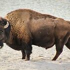 Buffalo by brotbackgeraet