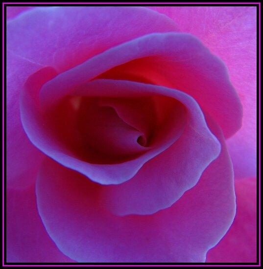 Pink rose by carpenter777