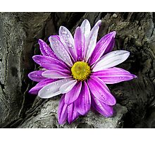 Driftwood Daisy Photographic Print