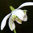 Double Snowdrop by AnnDixon