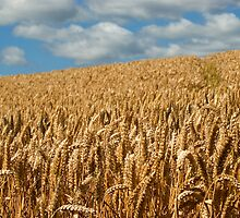 Field of Gold by Philip Teale