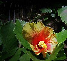 Lustrous Philippine Hibiscus by Carlo Cesar Rodillas