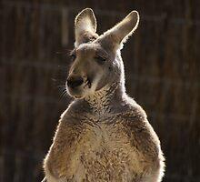 King Kangaroo by Nigel Roulston