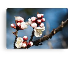 Apricot Blossoms Canvas Print