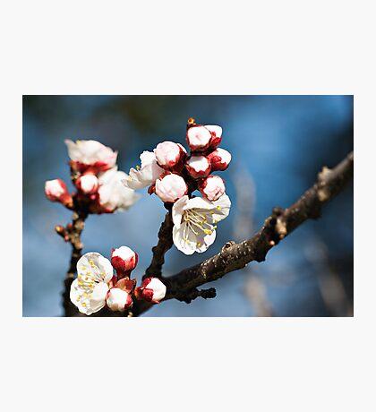 Apricot Blossoms Photographic Print