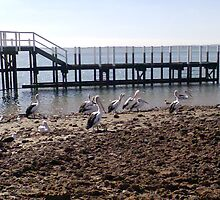 pelicans in the sun by carolynb