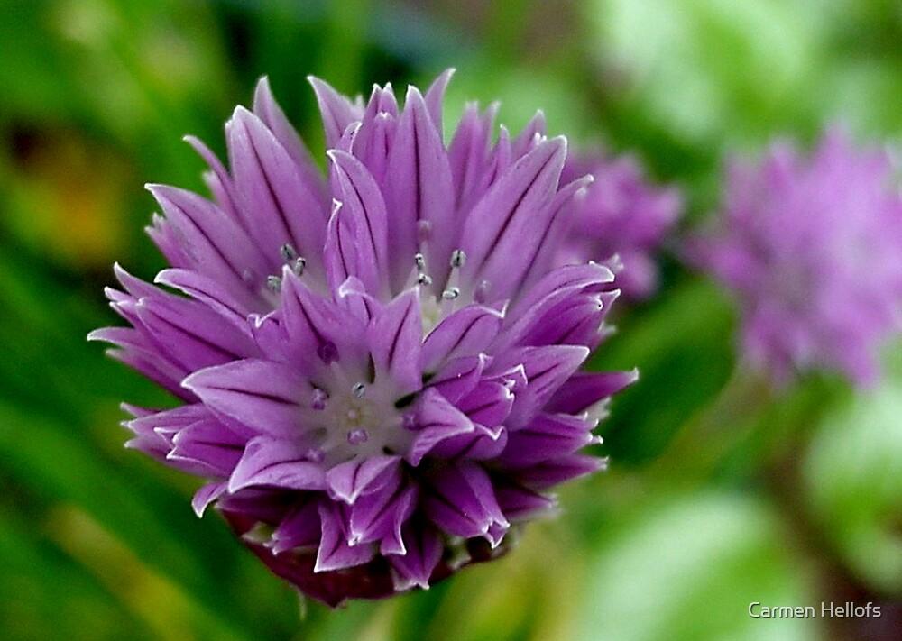 Purple Onion Flower by Carmen Hellofs