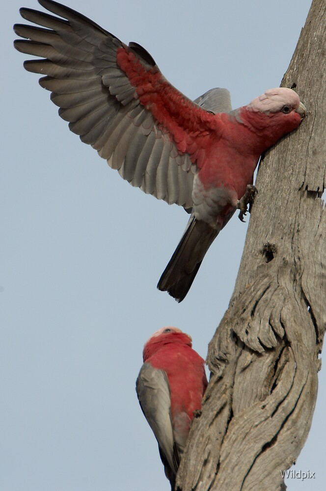 Stop being a Galah! by Wildpix