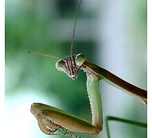 Praying Mantis by Cateyes