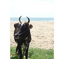 sea side cow Photographic Print