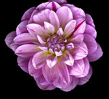 Three toned Dahlia by Jeffrey  Sinnock