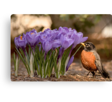 Robin in the spring flowers Canvas Print