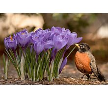 Robin in the spring flowers Photographic Print