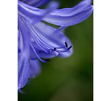 Demure lily Photographic Print