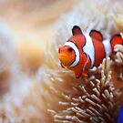 Clown Fish II by Daniela Pintimalli