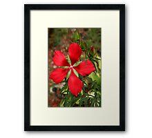 Texas Star Hibiscus II Framed Print