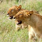 DOUBLE TROUBLE - The lionesses - Panthera leo by Magaret Meintjes