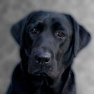 Black Labrador by Chris Clark