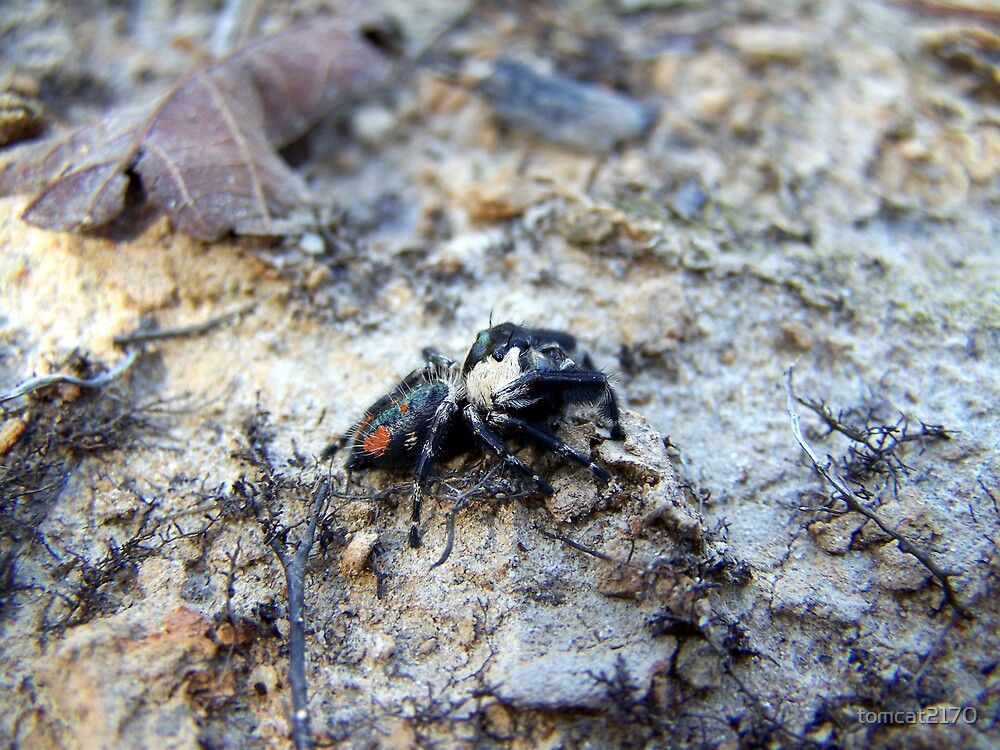 cute lil hairy spider by tomcat2170