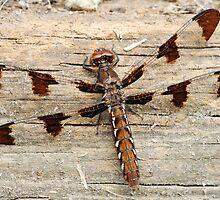 Common Whitetail Dragonfly Female by Bonnie T.  Barry