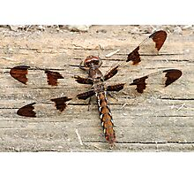Common Whitetail Dragonfly Female Photographic Print