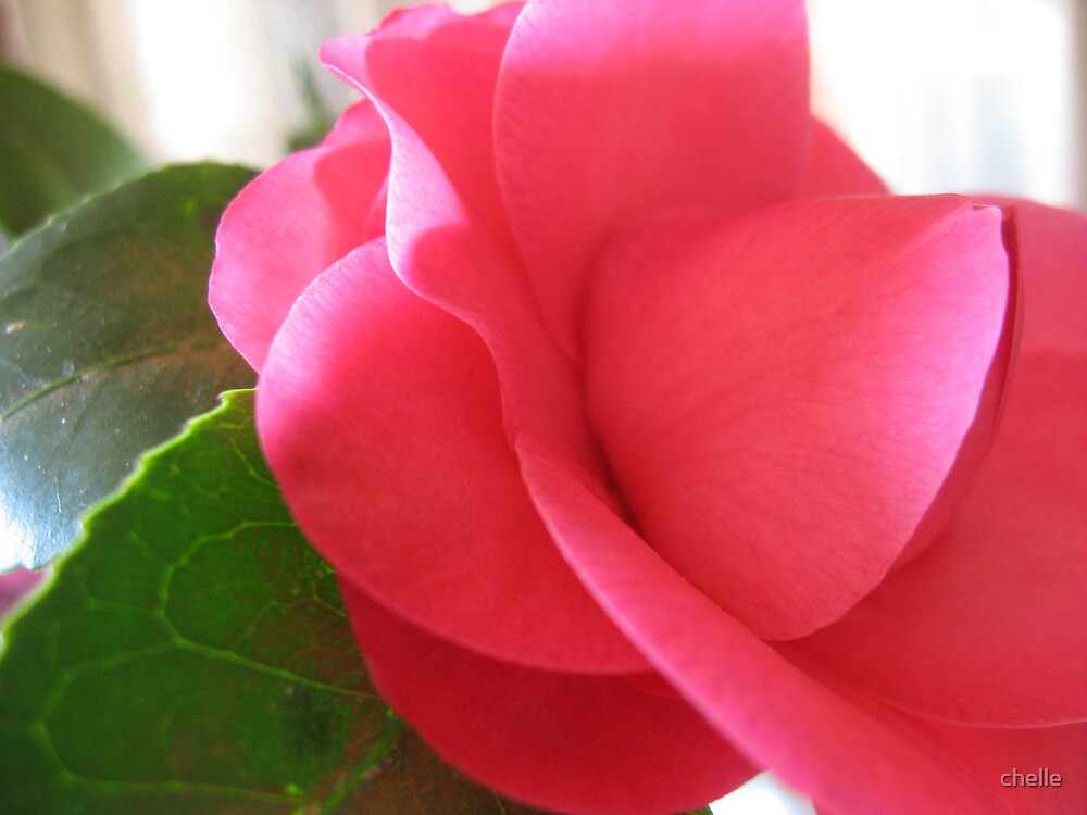 Pink Camelia by chelle