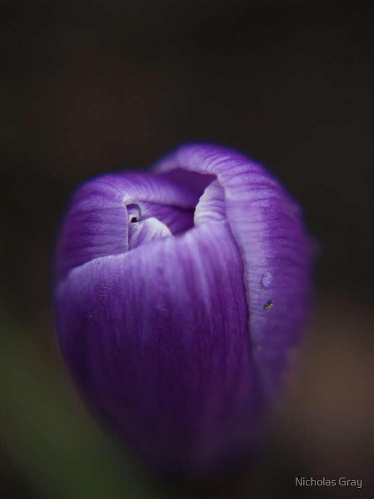 Purple Bud by Nicholas Gray