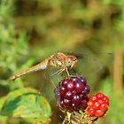 The Dragonfly by John Morton