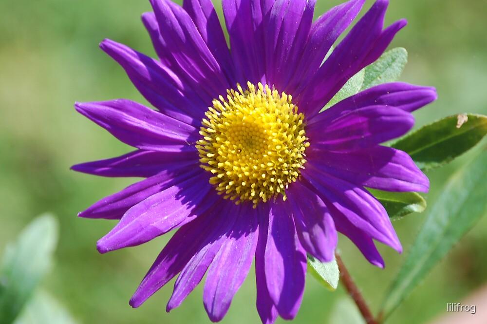 Violette...... by lilifrog
