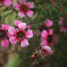 Leptospermum scoparium by Anny Arden