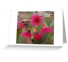 Corymbia flowers Greeting Card