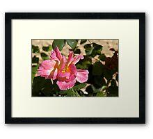 Brushed Pink Rose Framed Print