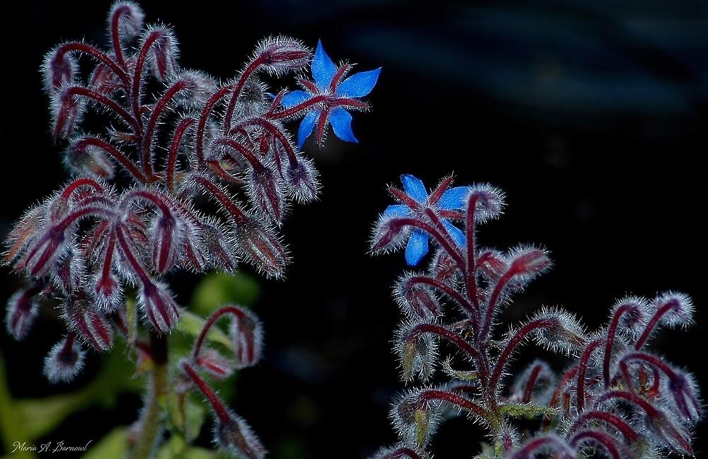 Blue Stars by Maria A. Barnowl