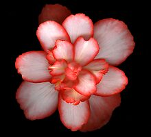 Begonia 2 by Jeffrey  Sinnock