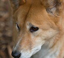 Dingo by Omakiwi