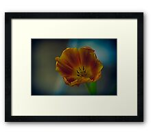 beautiful orange and yellow tulip Framed Print