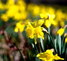 Daffodil Day by Marcus Mawby