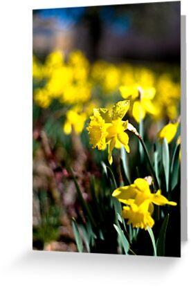 Daffodil Day by Marcus Mawby