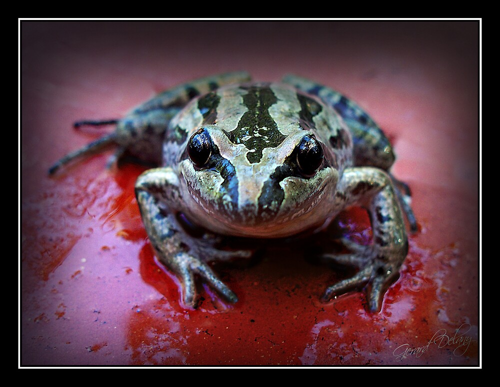 Striped Marsh Frog by Gerard Delany